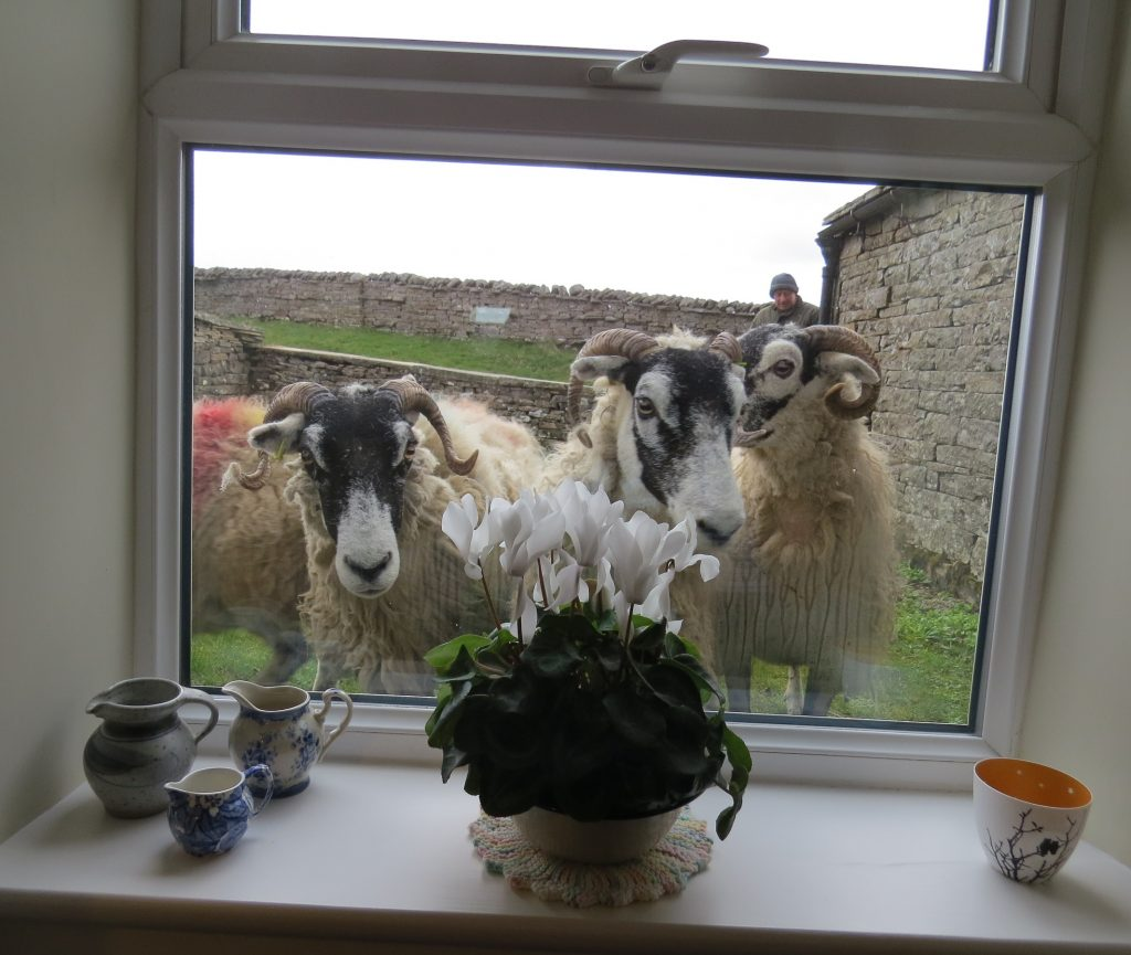 Sheep at the window.