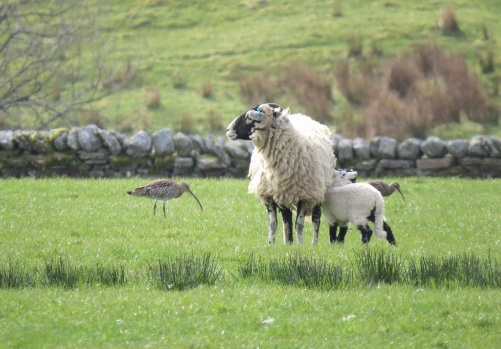 Swaledale sheep and wild birds on home field