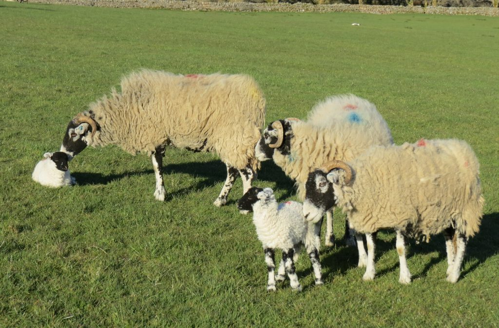 Swaledale ewes and lambs at Pry House Farm.